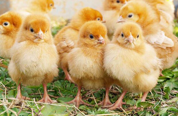 Свалка в Грузии стала «инкубатором» для тысяч цыплят