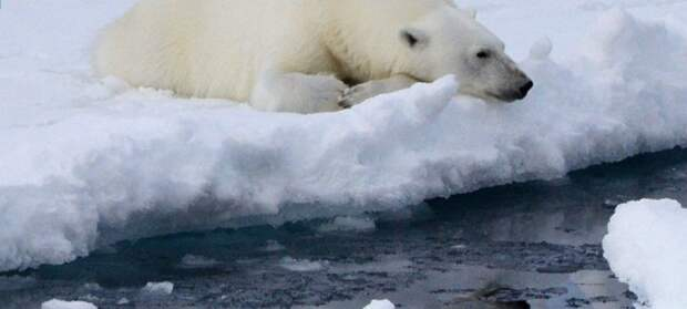 Как полярник 26 сезонов среди белых медведей повел