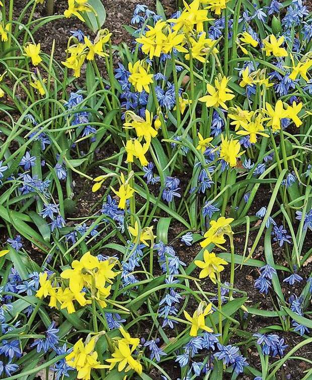 Сцилла сибирская и ранний многоцветковый нарцисс 'Jumbli'