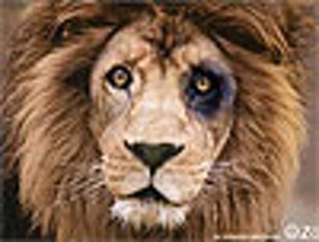 Кенгуру избивают львов и орангутангов