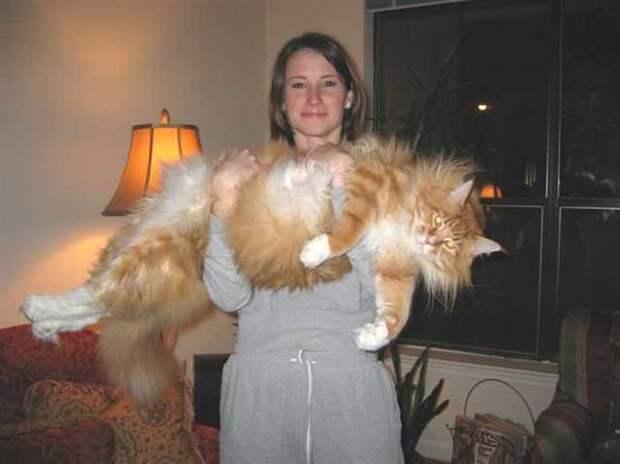 15. Перенося Пушистика с места на место, вполне можно вспотеть животные, коты, милота, огромные коты