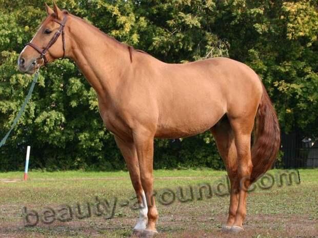 Будённовская лошадь