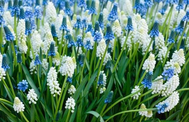 первоцветы которые не нуждаются в уходе мускари