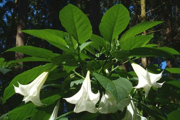 Бругмансия душистая (Brugmansia suaveolens). Фото с сайта cmuscmr.cmu.edu.tw