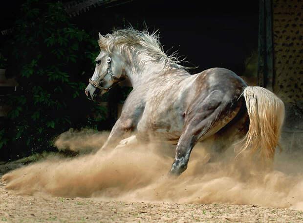 19. Однако исторически андалузских лошадей также использовали в скотоводческом хозяйстве, особенно д