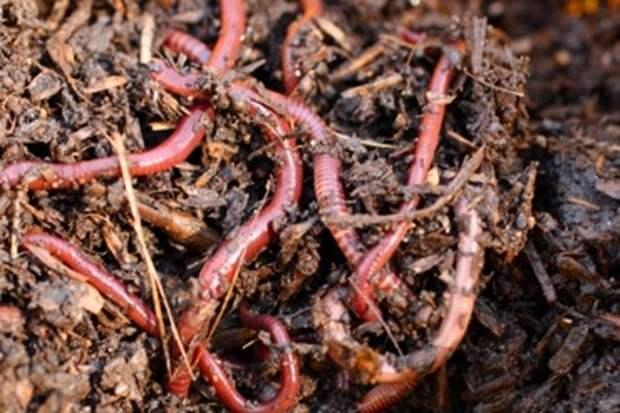 Калифорнийские черви на страже урожая