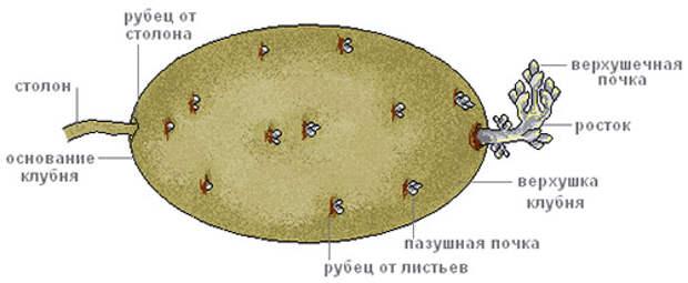 Выращивание картофеля из верхушек