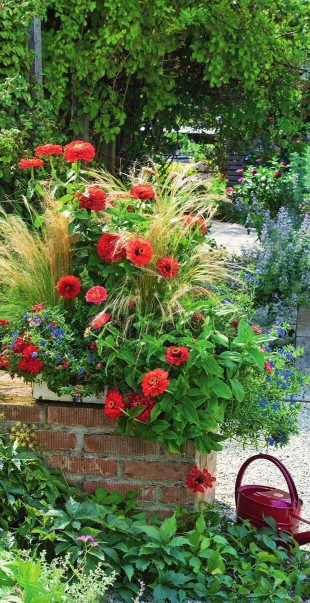 Ансамбль из светло-розовой циннии, воздушного ковыля (Stipa), анагаллиса (Anagallis) с синими звездочками и вербены с вишнево-красными цветками остается красивым до самой осени.