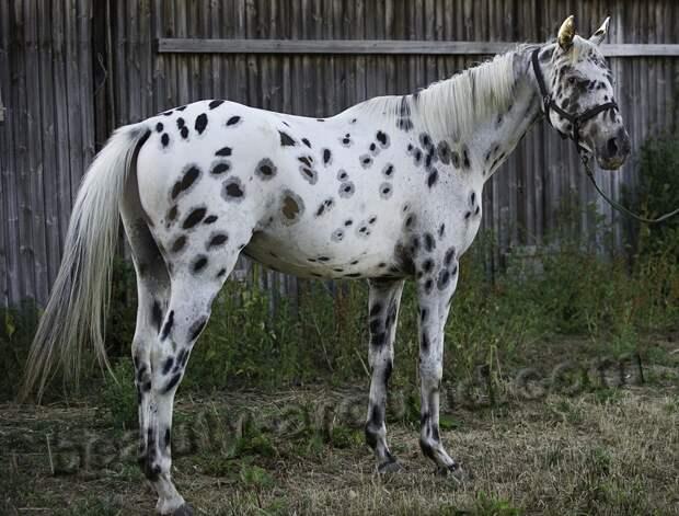 Кнабструппер лошади