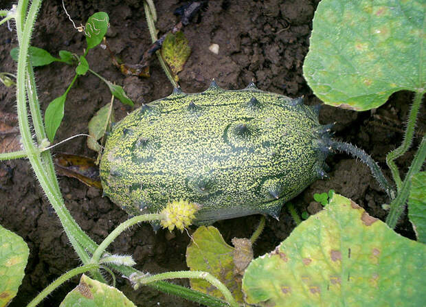 Cucumis metuliferus - Wikimedia Commons