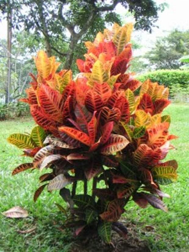 Цветок кротон - 5