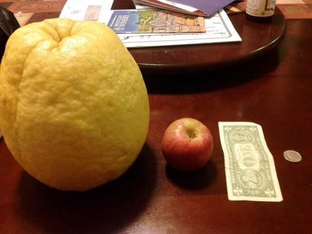 Лимон, чтобы точно не заболеть зимой. огород, самые большие овощи, урожай
