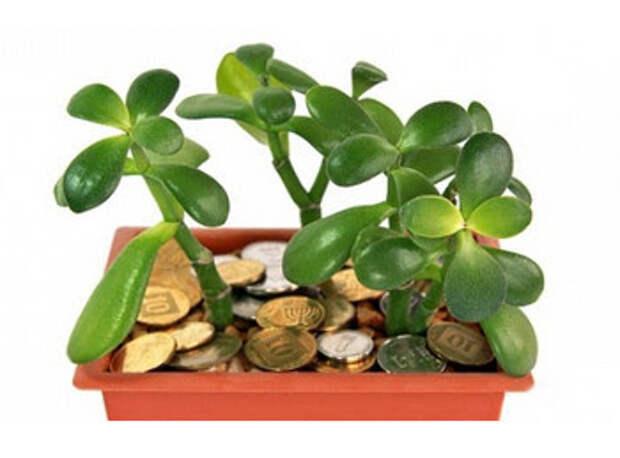 Толстянка — «Денежное Дерево»…Лечит Или Отравляет?! Это Невероятно! На Что Способно Всем Известное Комнатное Растение! Это должны знать все!