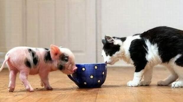 Если у вас нету Свинки