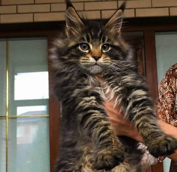 Забрали домой взрослого мейн-куна. Кошка сразу стала хозяином в доме и мы были на ее испытательном сроке, который прошли