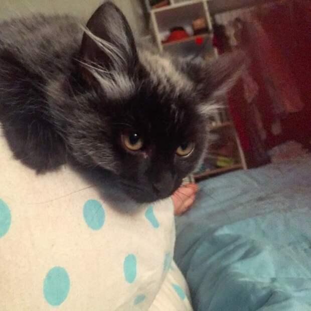 Спасенный котенок с необычным окрасом вырос и полностью переменился