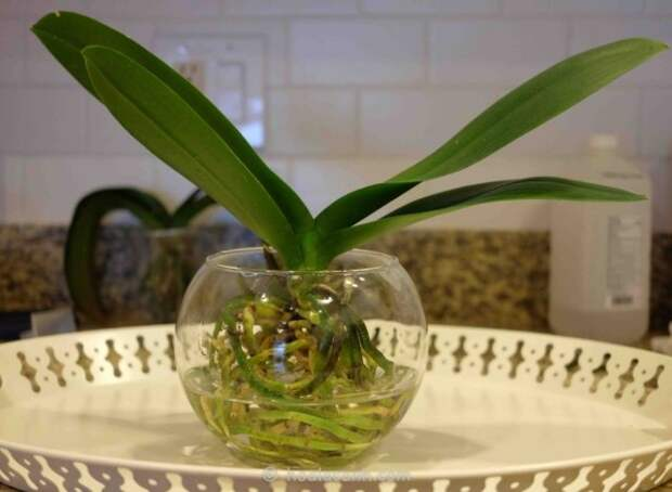 Избыточный полив орхидеи