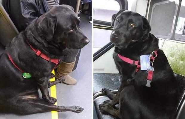 Собака самостоятельно ездит в парк на автобусе и пользуется проездным