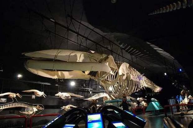 Синий-кит-животное-Описание-и-фото-синего-кита-13