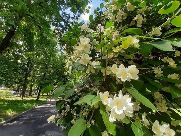 Фото дня: на Новопесчаной цветет жасмин Фото: Дмитрий Дунько