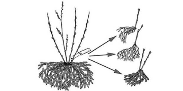 Как размножить ежевику осенью: обзор методов