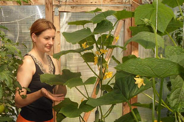 Огурцы: тонкости выращивания от опытных овощеводов