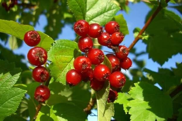Боярыня-ягода