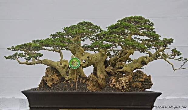 3925073_bonsai21 (700x409, 211Kb)