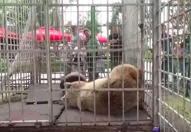 медведица в клетке