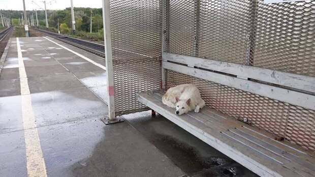 По следам Хатико: в Приморье на перроне собака две недели ждёт бросившего её хозяина