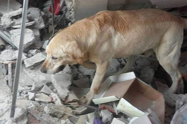 История лабрадора Дайко, который не зная отдыха, спасал людей под завалами