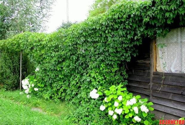 Девичий виноград от посадки до раскорчевки