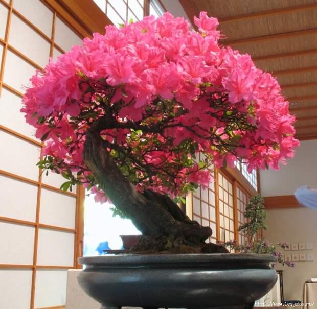 3925073_bonzai_in_bloom_by_somedumbgeek_1_ (700x684, 300Kb)