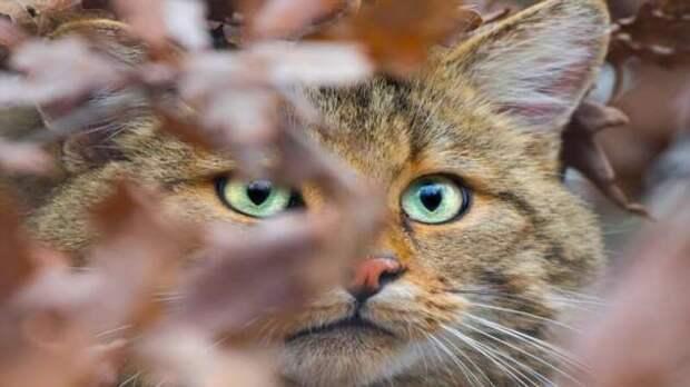 Лесной кот (2 фото + 1 видео)