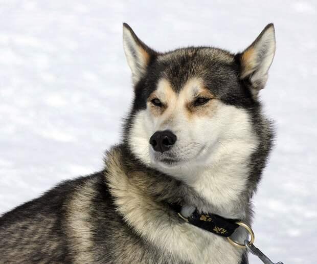 Собака, Хаски, Снег, Гора, Клык, Млекопитающее