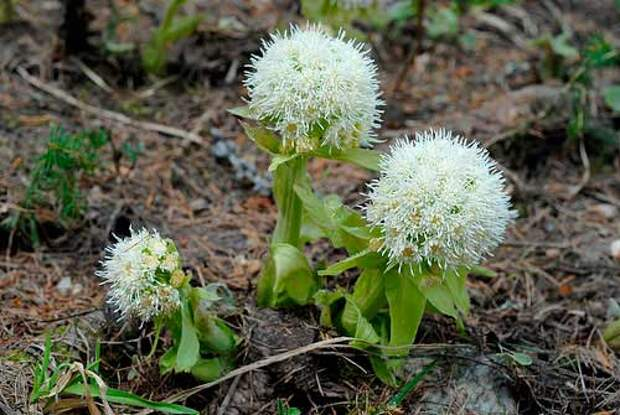 Лекарственное растение Белокопытник белый (Petasites albus)