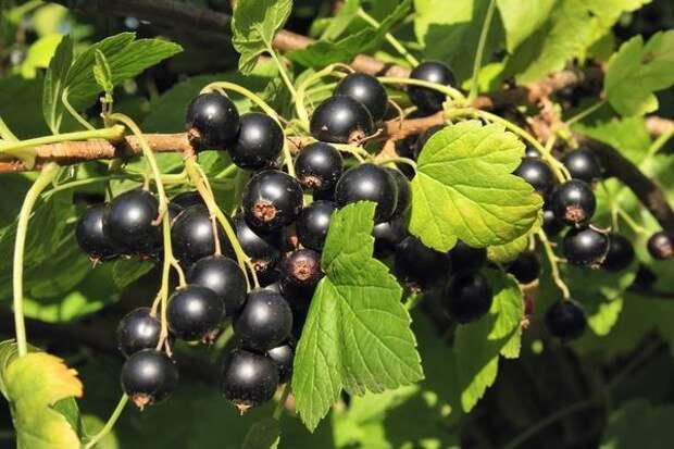 Ученые выявили 12 причин в сезон есть регулярно черную смородину