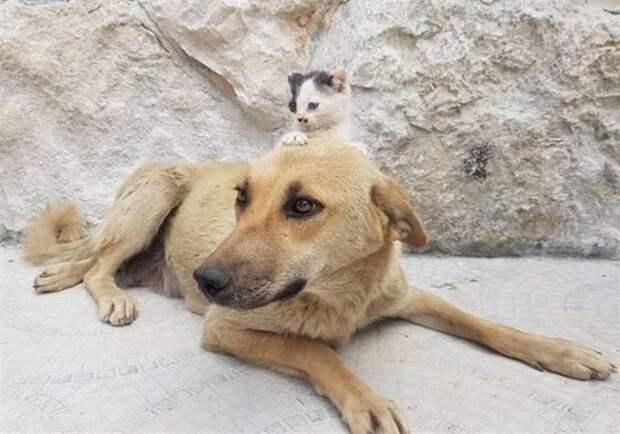 Котёнок-сирота подружился с собакой, потерявшей щенков, и это очень трогательно!