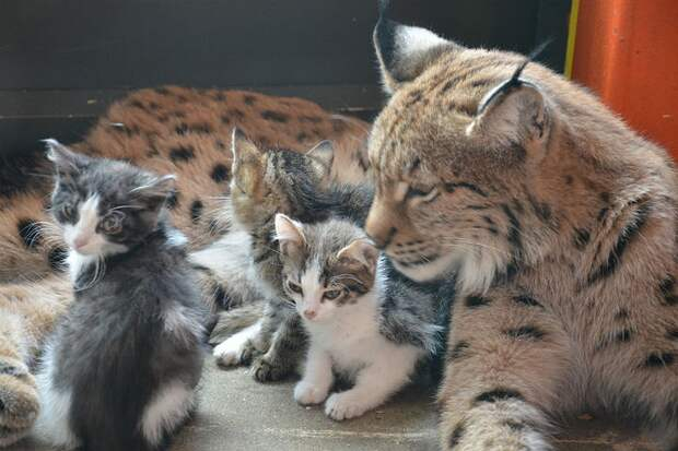 Алена каждый день умывает котят. Фото: предоставлено зоопарком.