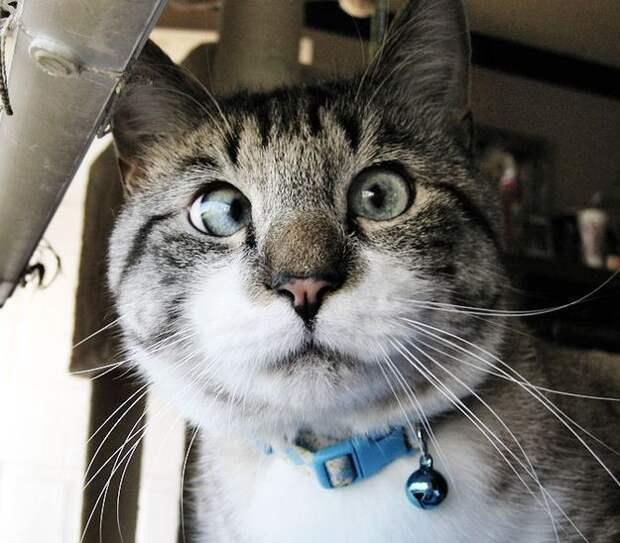Спанглс – самый милый косоглазый кот в интернете