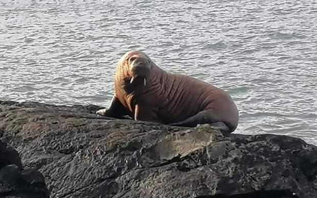 У берегов Ирландии впервые обнаружили моржа