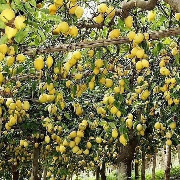 Лимоны еда, изобилие, красиво, растения, урожай