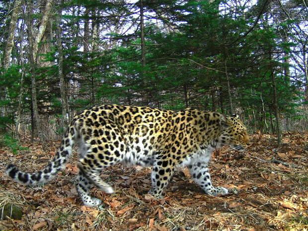 Дальневосточный леопард, Приморский край, национальный парк «Земля леопарда»