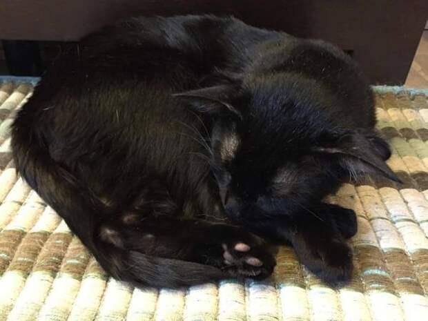 Редчайший четырехухий кот-мутант наконец-то нашел себе хозяев и дом