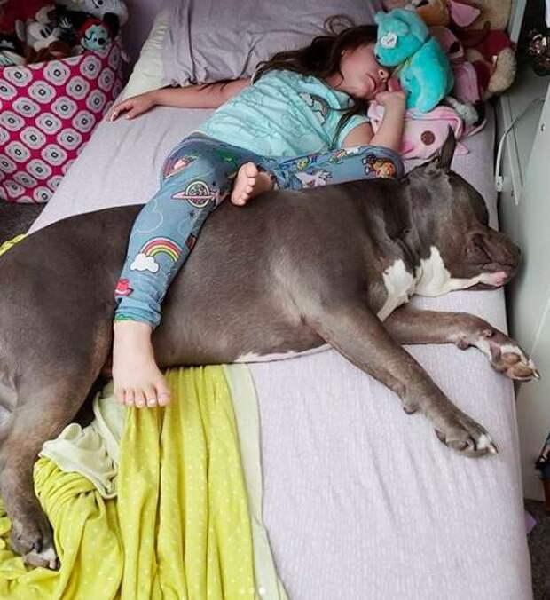 Семья приютила питбуля, и с тех пор он не отходит от дочки, охраняя её сон