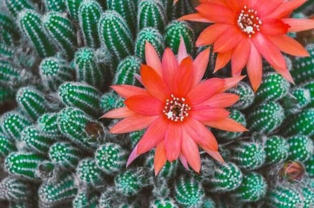 Колючие без заблуждений. Какие кактусы не стоит держать дома?