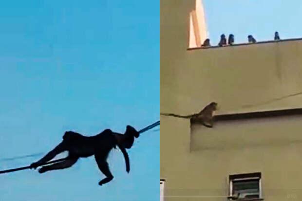 Находчивые обезьяны нашли способ быстро перемещаться между зданиями