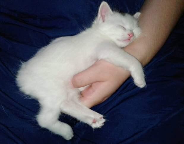 Ангорский котёнок купленный через интернет, вырос и превратился в восемнадцати килограммового кота