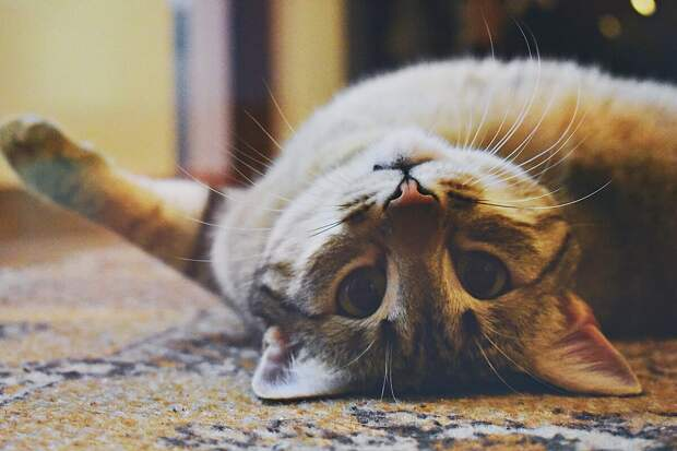 8 главных признаков, что кошка любит своего хозяина
