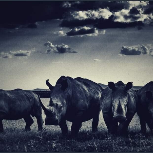 носороги в поле